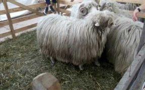 Expoziţie de ovine crescute ecologic la Vurpăr