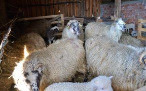 Expoziţie de ovine crescute ecologic cu vânzare prin licitaţie la Vurpăr