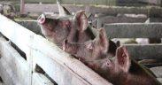 Focar de Pestă Porcină Africană, depistat în localitatea Daia din Comuna Roșia