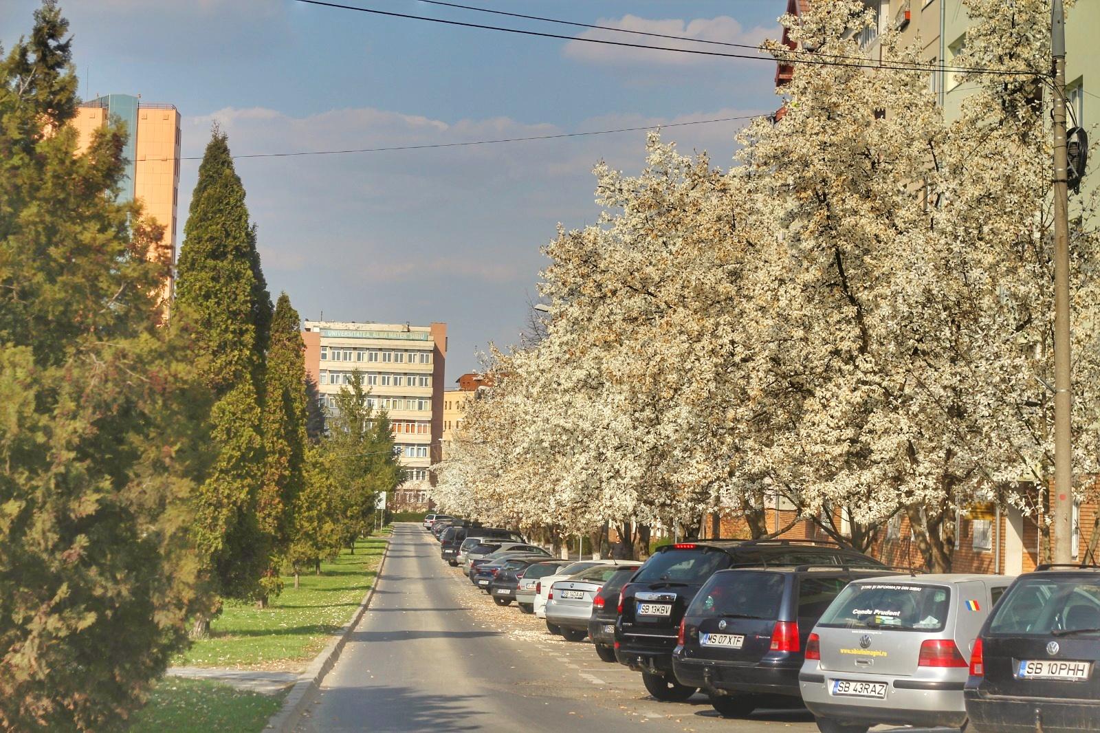 FOTO | Strada Școala de Înot, regina albă a magnolilor