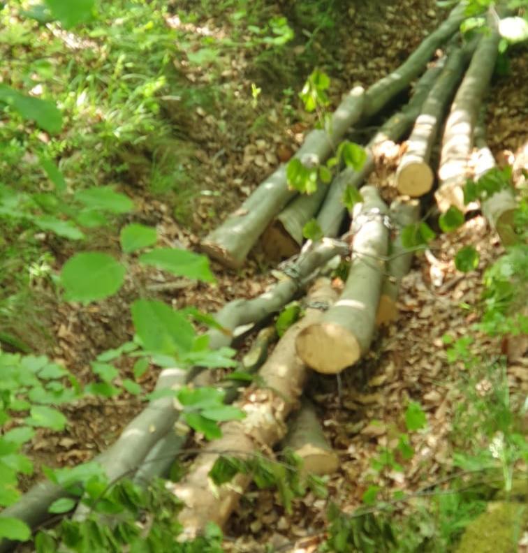 Gura Râului | 15 arbori din specia fag și molid transportați ilegal