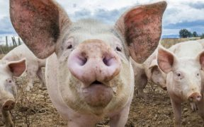 Au fost identificate două focare de Pestă Porcină Africană, în localitatea Vale