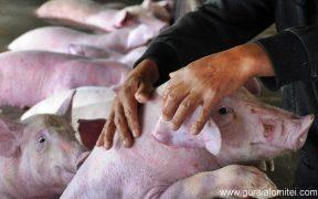 Noi focare de Pestă Porcină Africană, identificate în județul Sibiu
