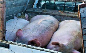 Focar de pestă porcină africană la mistreți, depistat în Jina