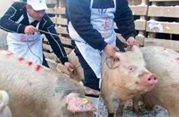 Două focare de pestă porcină, identificate în județul Sibiu