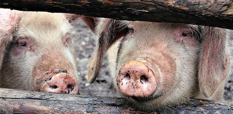 Focar de Pestă Porcine Africană, depitat în localitatea Hosman