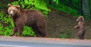 Alertă în Hosman. Prezenţa unor urși a fost semnalată prin 112