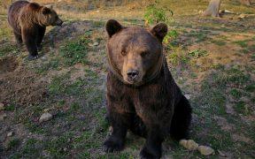 PSD cere Avocatului Poporului să conteste la CCR ordonanța privind împușcarea urșilor