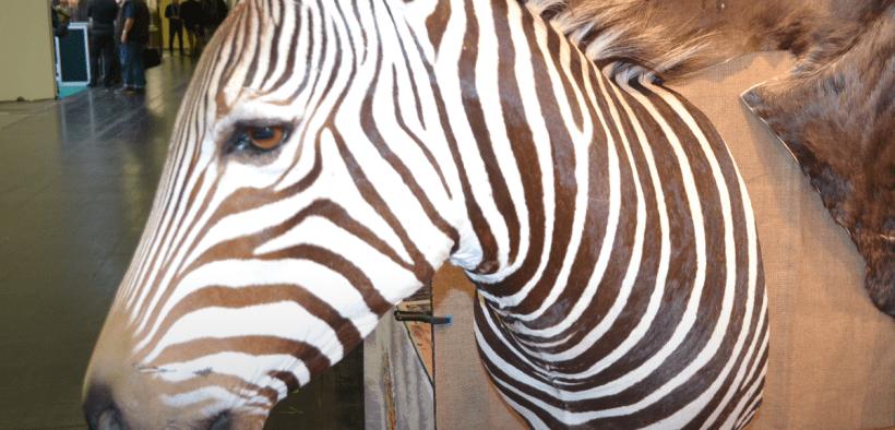 Uniunea Europeană, al doilea mare importator de trofee de specii protejate