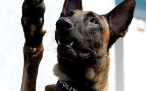 Blue, polițistul canin, care a depistat călători infectați cu COVID-19