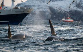 VIDEO Momentul în care 30 de balene ucigașe au atacat barca unui echipaj britanic